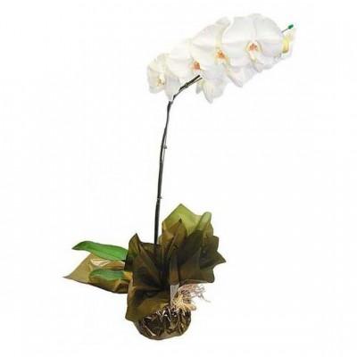 Orquídea Plantada