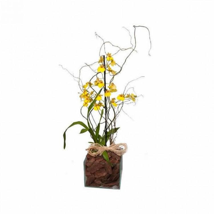 Orquídea Oncidium Plantada